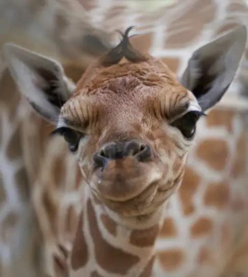 giraffe calf Fort Wayne Childrens Zoo
