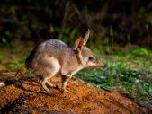 greater bilby release taronga western plains zoo