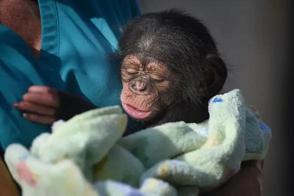 maryland zoo chimpanzee