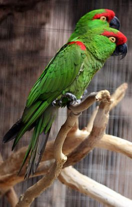 Thick Billed Parrot