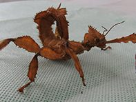 Spiny Leaf Stick Insect