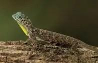 common flying lizard