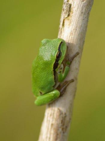 European Tree Frog The Animal Files