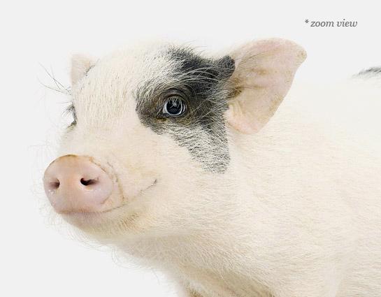 pigletdetail-theanimalprintshop.com