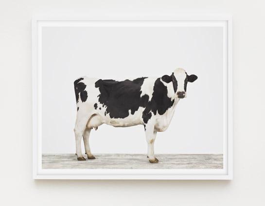 animal-prints-animal-art-photography-cow-1