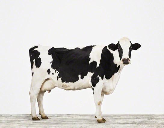 animal-prints-animal-art-photography-cow