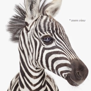 baby-zebra-decor--art-for-nursery