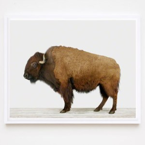 bison-buffalo-prints-animal-art-photography