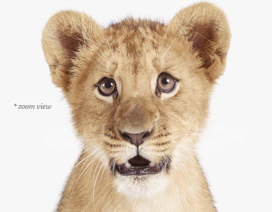 lion-cub-art-for-nursery