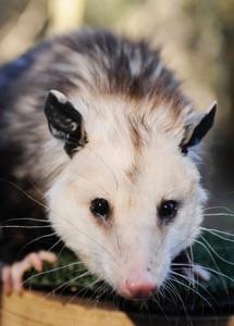 Opossum Feb 2009