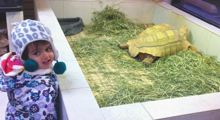 Spur the sulcata tortoise