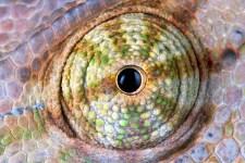 Pet Reptiles Chameleon