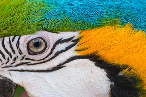 Pet Parrots