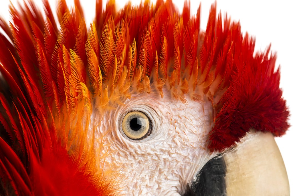 Red Parrot Eye pet birds