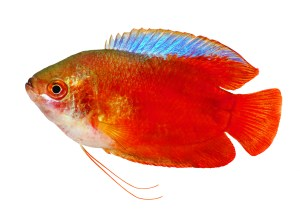Red Flame gourami