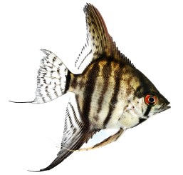 Tiger Marble angelfish