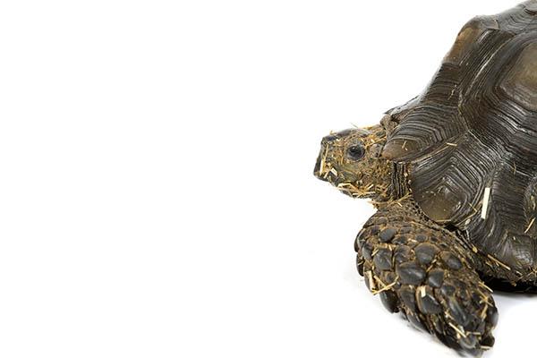 Burmese Mountain Tortoise in turtles and tortoises