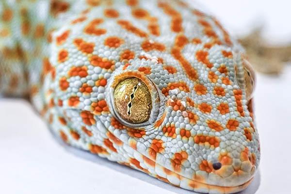 Gecko Reptiles
