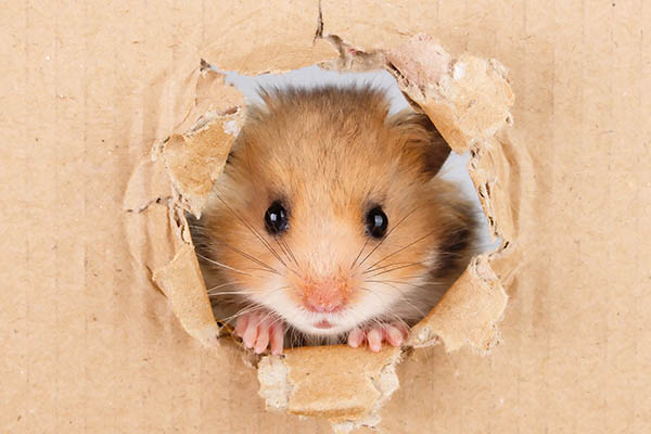 Hamster pocket pets
