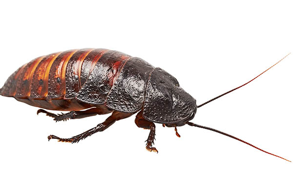 Hissing Cockroach
