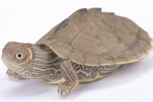 Mississippi Map Turtle in turtles and tortoises