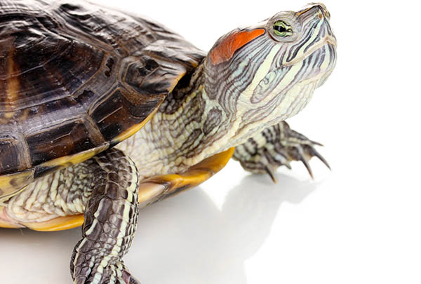 Red Eared Slider in turtles and tortoises