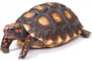 Red Foot Tortoise in turtles and tortoises