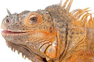 Red Iguana Reptiles