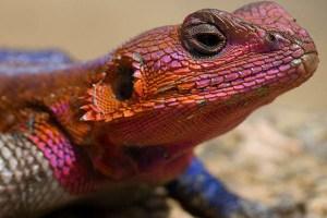 Spiderman Lizard (Red-headed Agama) Reptiles