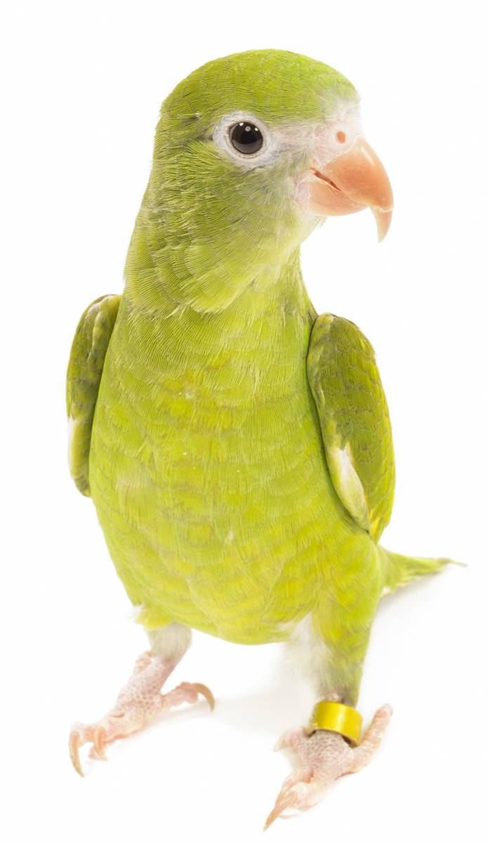 Canary Winged Parakeet
