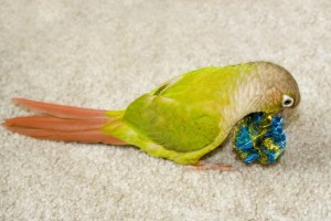 Green Cheek Cinnamon Conure bird enrichment