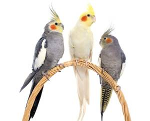 Cockatiel Variations
