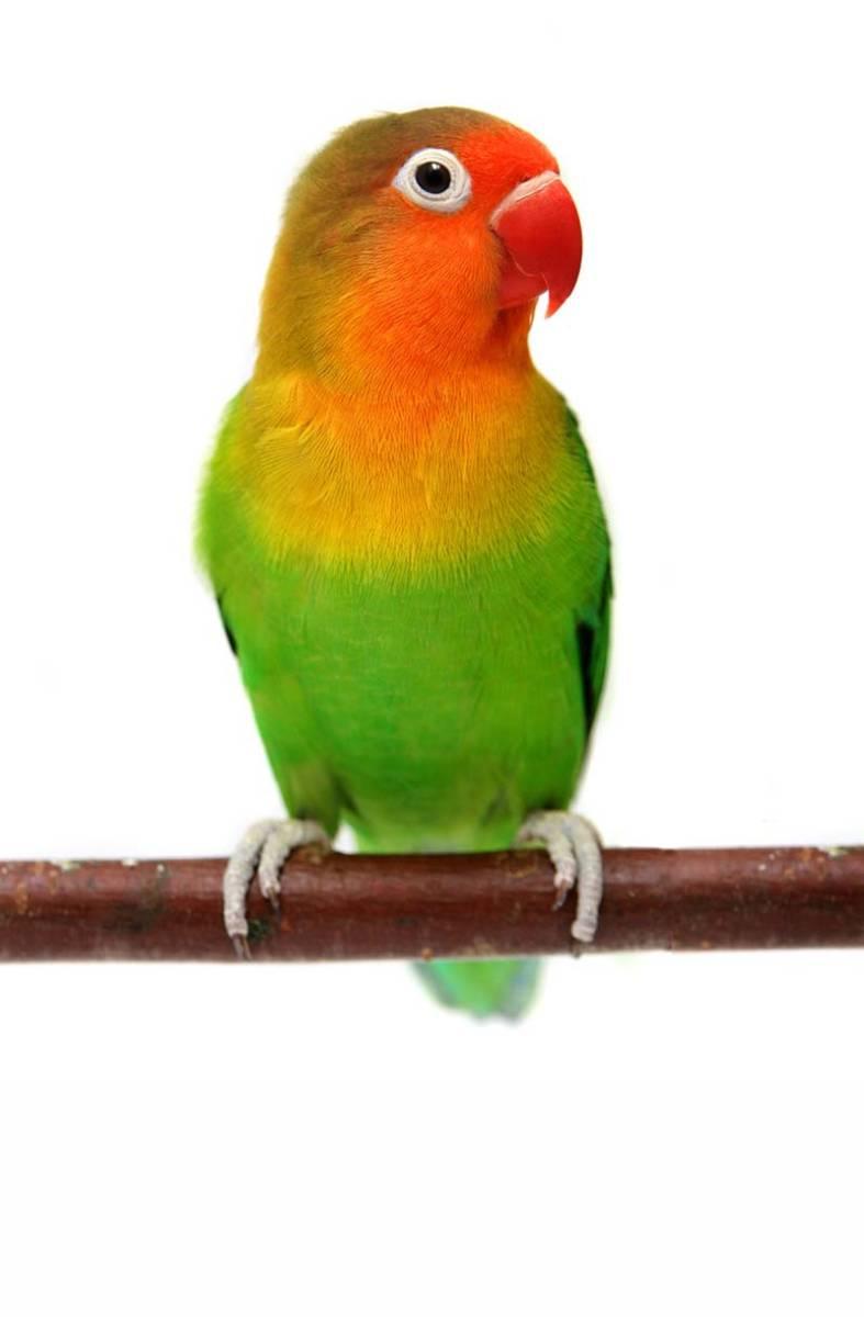 Fischer's Loverbird