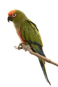 Gold Capped Conure