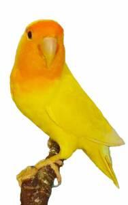 Lutino Lovebird