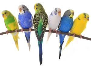 Parakeets Variety