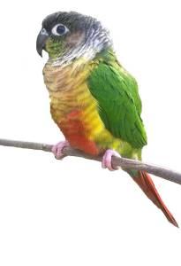Yellow-sided Green Cheek Conure