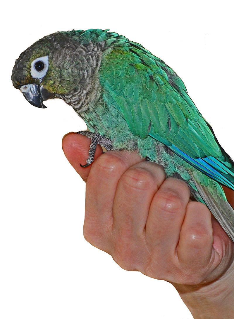 Turquoise Conure