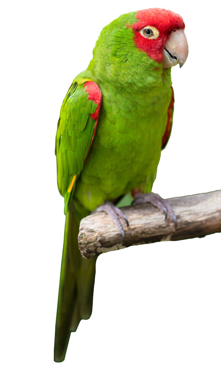 Cherry Headed Conure