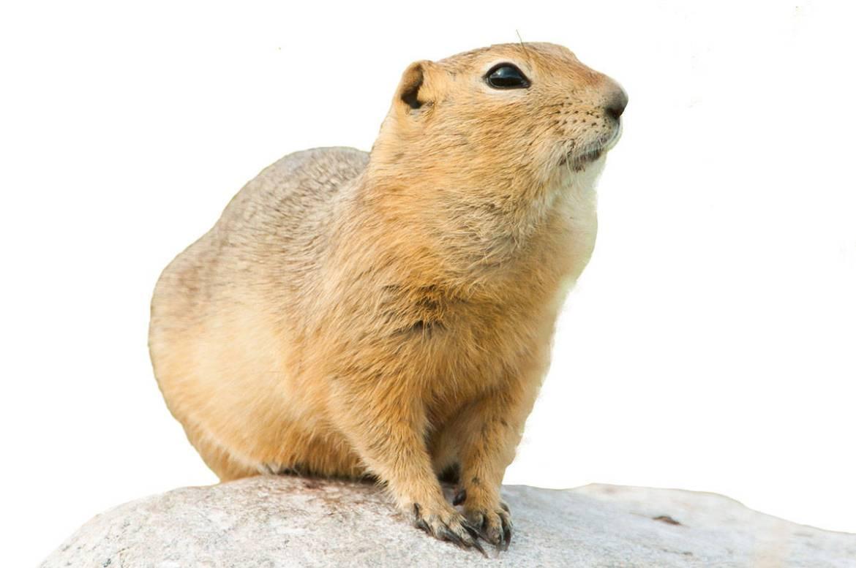 Richardson Ground Squirre