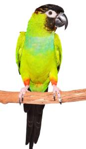 The Animal Store Black-hooded Parakeet