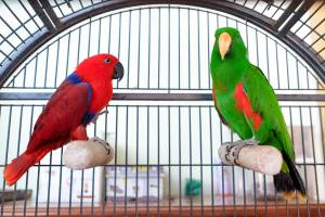 The Animal Store Electus Parrots