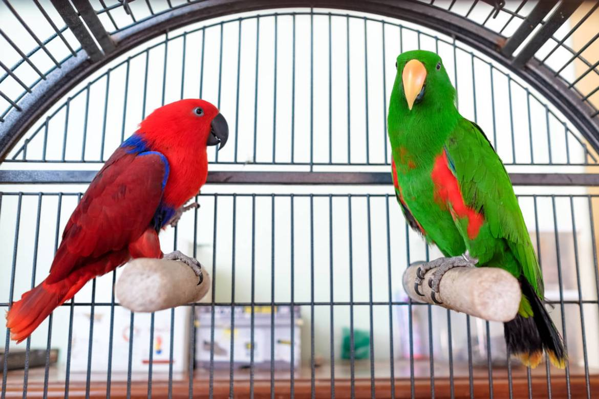 The Animal Store Eclectus Parrots