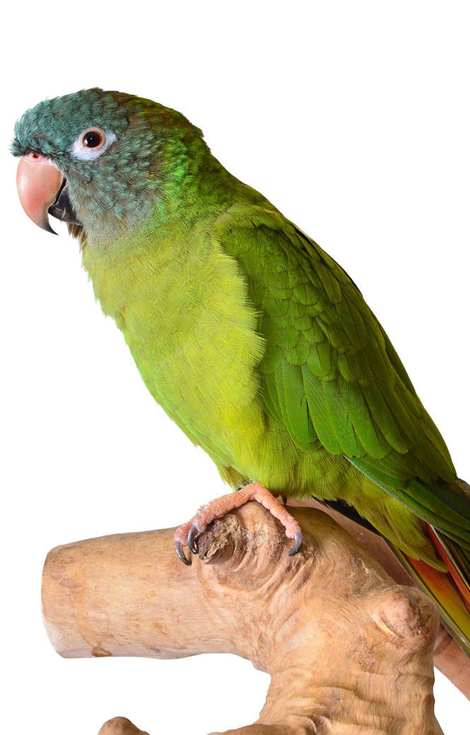 The Animal Store Blue Crowned Conure