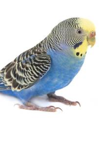 English Budgie at The Animal Store