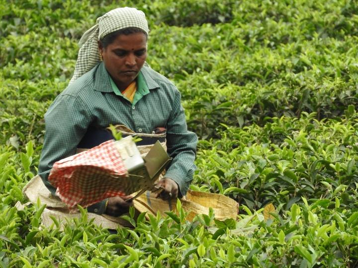 איסוף עלי תה בג'ונגלים של דרום הודו