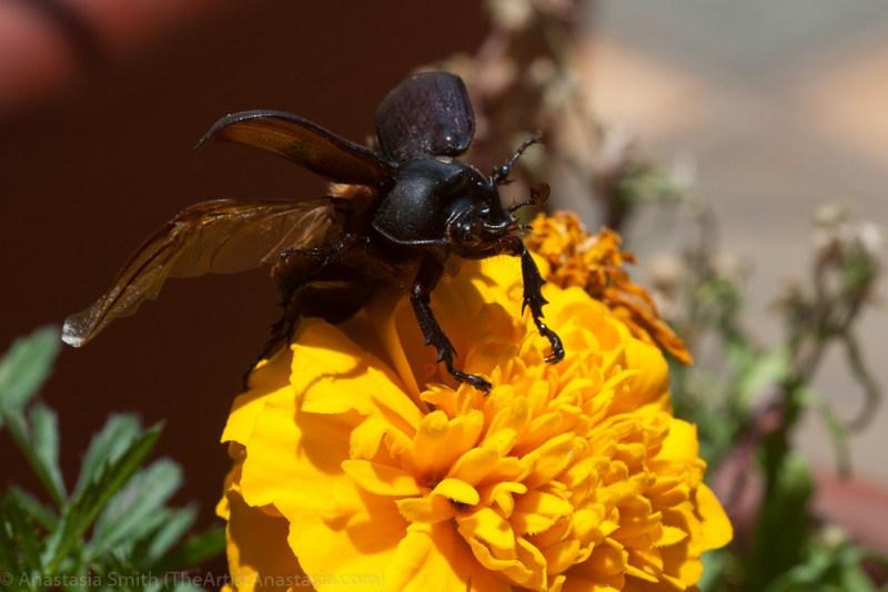 fork-horned-rhinoceros-beetle1-3