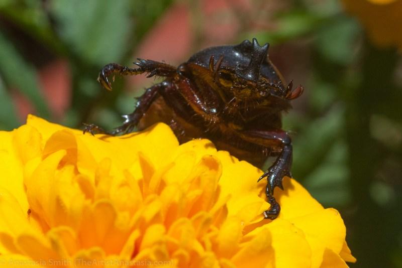 id-rhino-beetle1-2