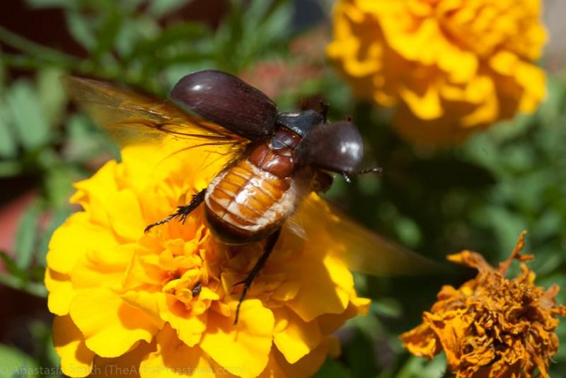 id-rhino-beetle1-3