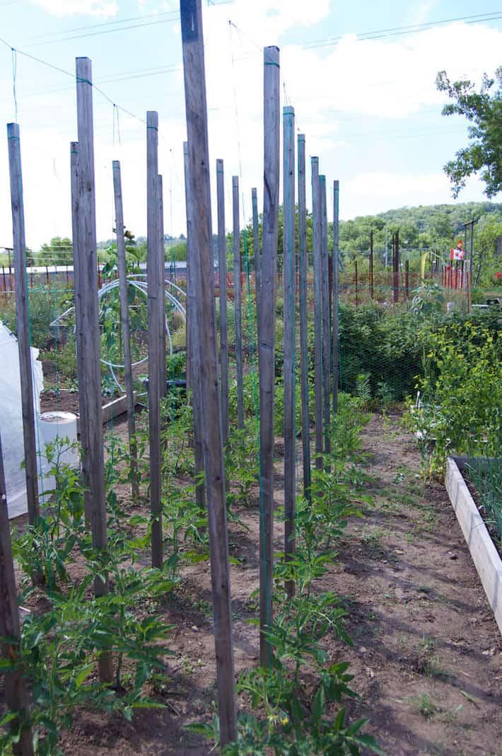 Above Ground Tomato Garden